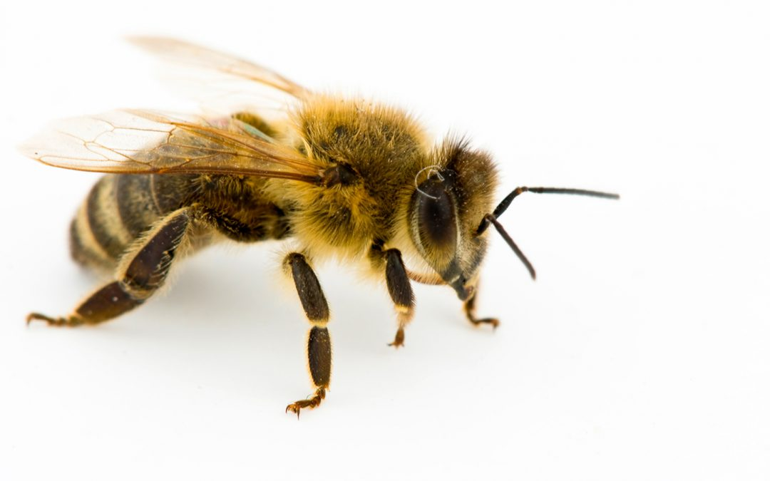 Honey bees and their habits